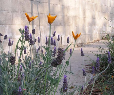 74.Poppies, lavender and shadows