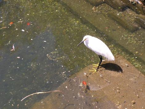 P6170124.Snowy egret