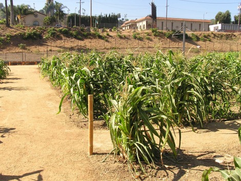 Corn drying out