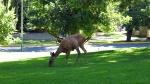 Deer in Lithia Park