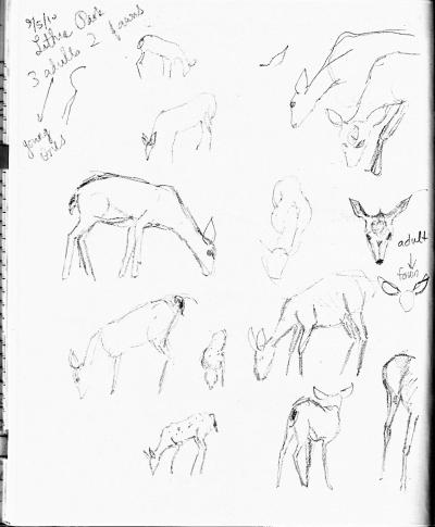 Lithia deer sketch