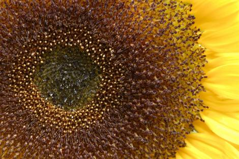 Eye of the Sunflower