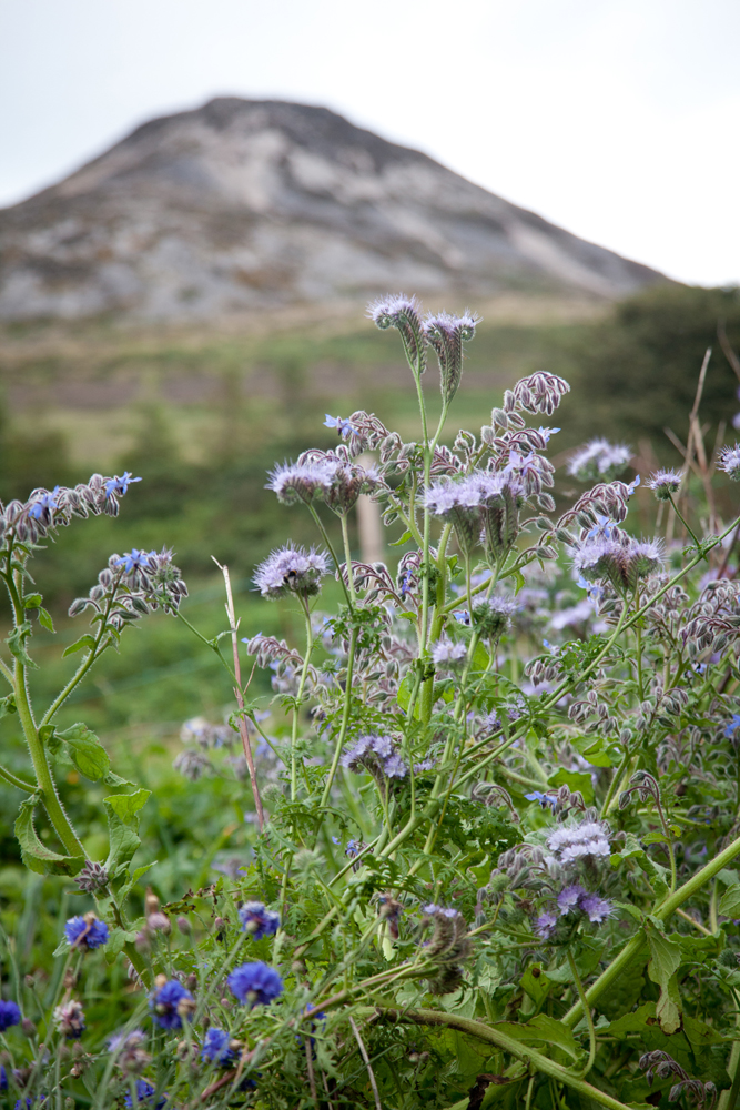 Small purple flowers with a mountain in the background