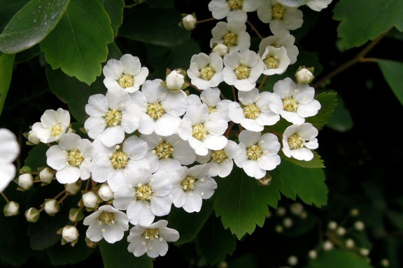 Cluster of tiny white flowers