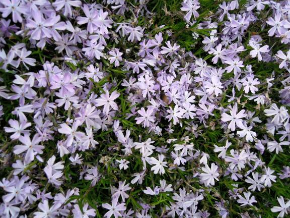 Tons of little lavender-colored flowers