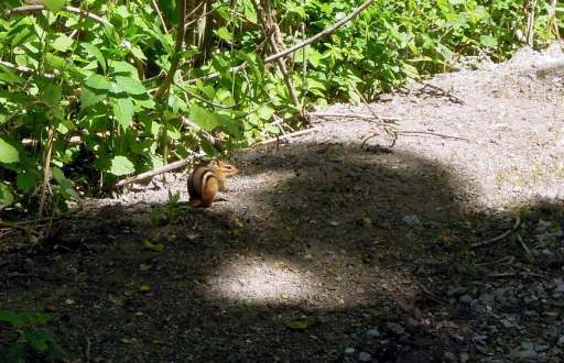 Striped chipmunk on the trail