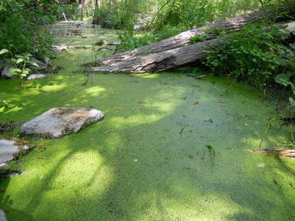 duckweed-covered water