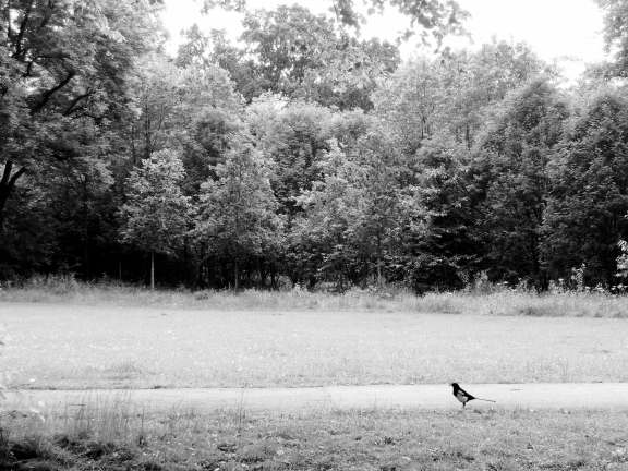 Magpie in black and white: A black and white bird in a black and white landscape