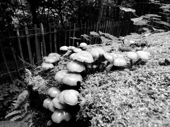 Mushrooms on a stump (b/w)