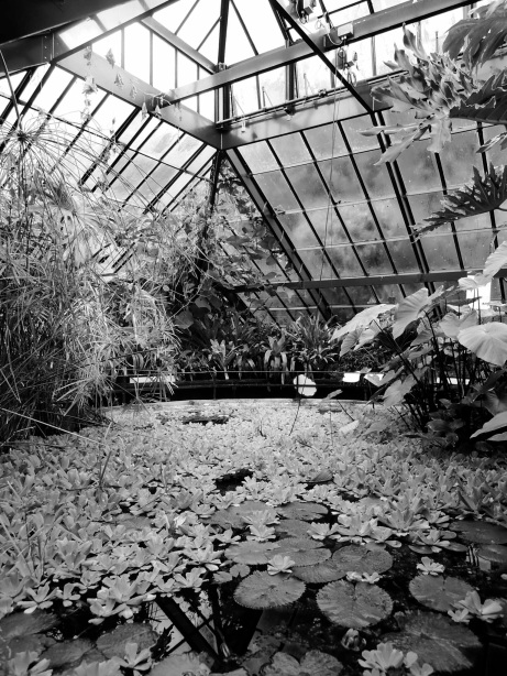 Water lettuces over the surface of a pond, underneath the metalwork of the glasshouse ceiling.