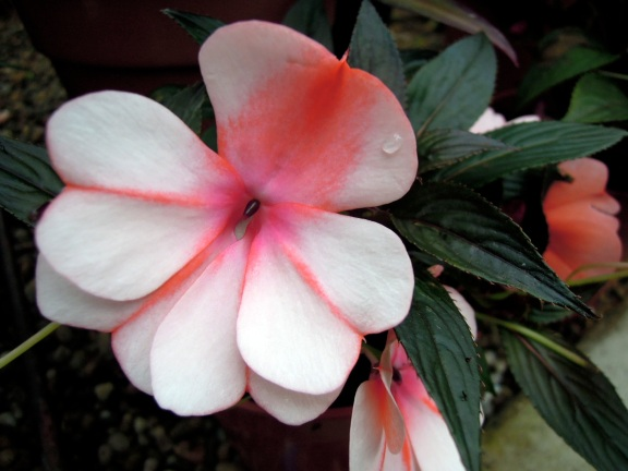 Showy watermelon-and-white Impatiens