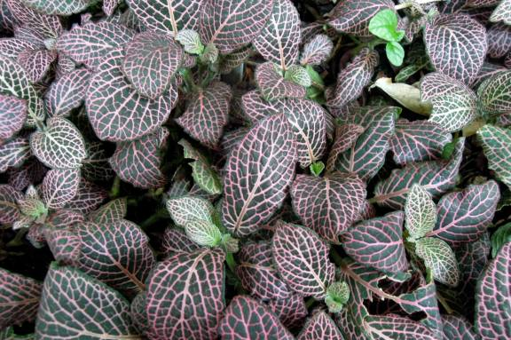 Fittonia 'pink lace'