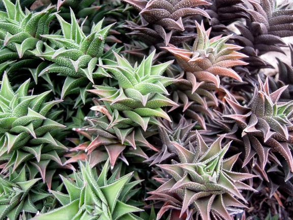 Haworthia tortuosa Haw, multicolored succulent with pointed leaves