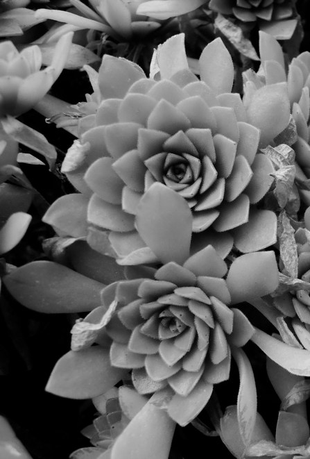 Classic succulent rosettes