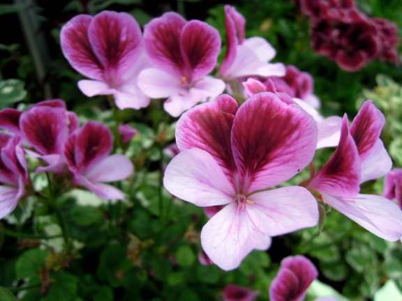 Pale and dark pink pelargonium