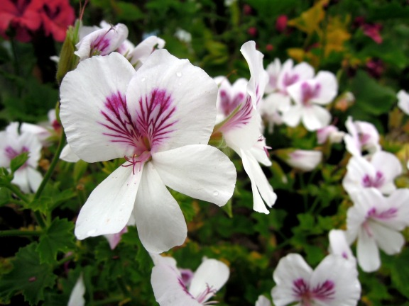White Angel pelargonium with pink heart