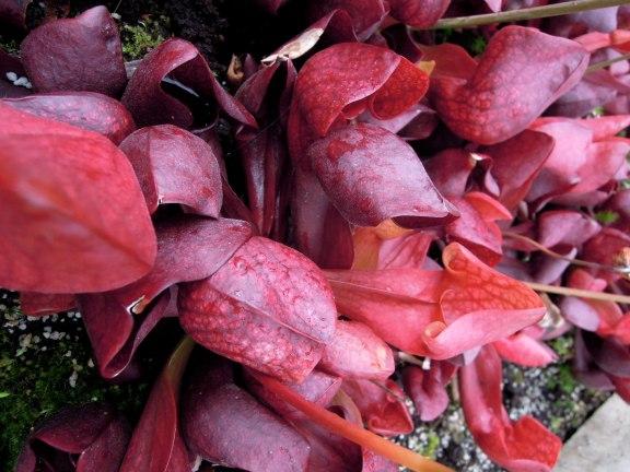 Bright fuschia-colored pitcher plant