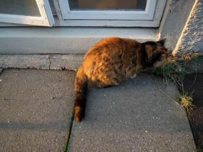 Fat tortoiseshell cat