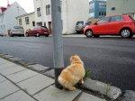 Tailless fluffy orange cat