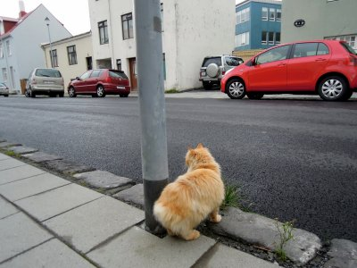 Tailless fluffy orange cat