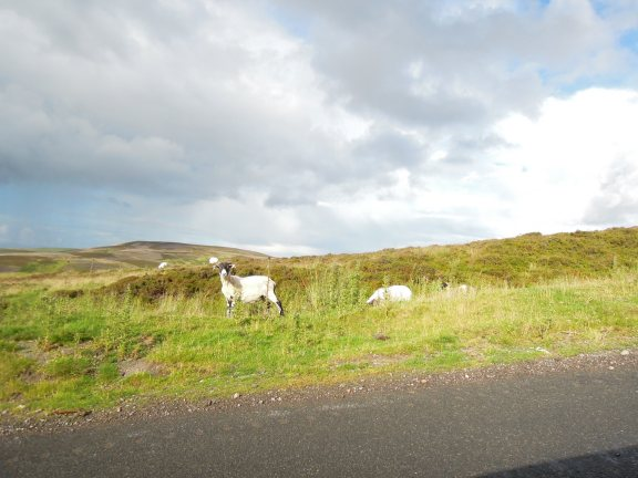 Roadside sheep!