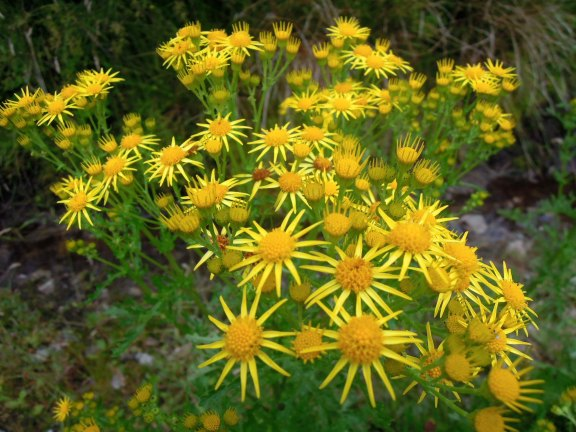 Little daisylike yellow flowers