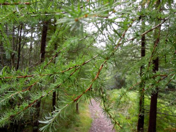 Evergreen branches over the trail