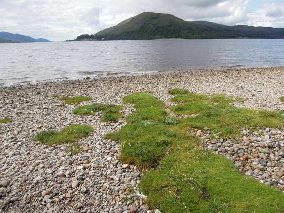 Tufty green grass on the rocky beach on Caol waterfront
