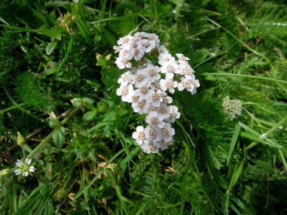 Tiny white flowers in a cluster, maybe yarrow