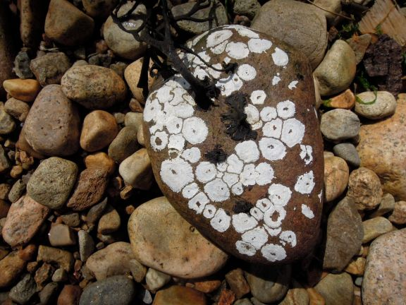 Roundish white marks on a brown stone, from barnacles