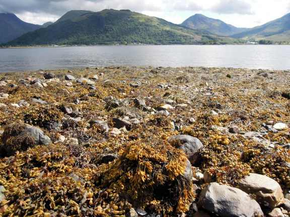 Brown seaweed all over the shore at Loch Leven
