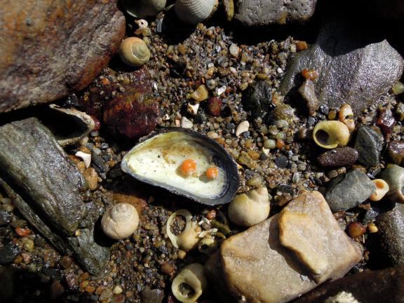 Tiny orange snail shells inside a mussel shell