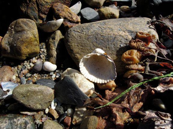 Half cockle shell