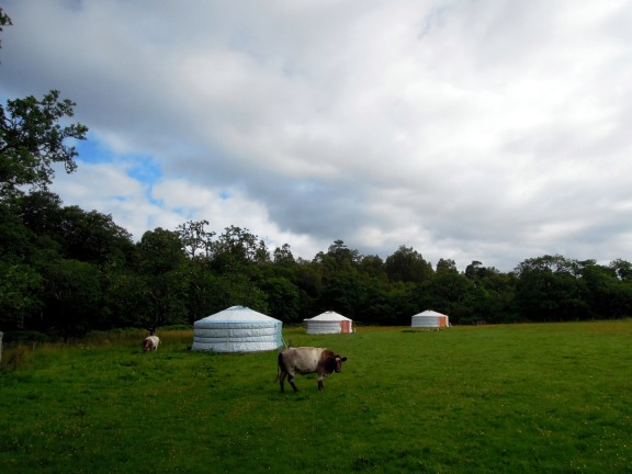 Cows next to the yurts