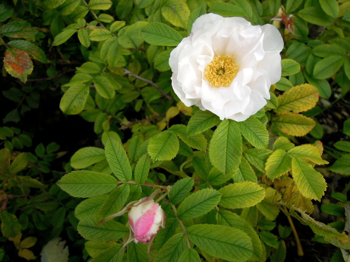 White rose with pink rosebud