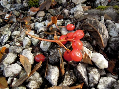 Red berries on grey and black rocks