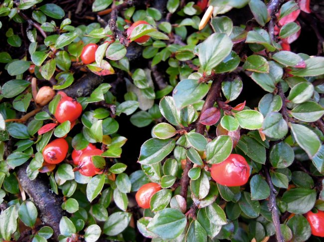 Red berries, green leaves