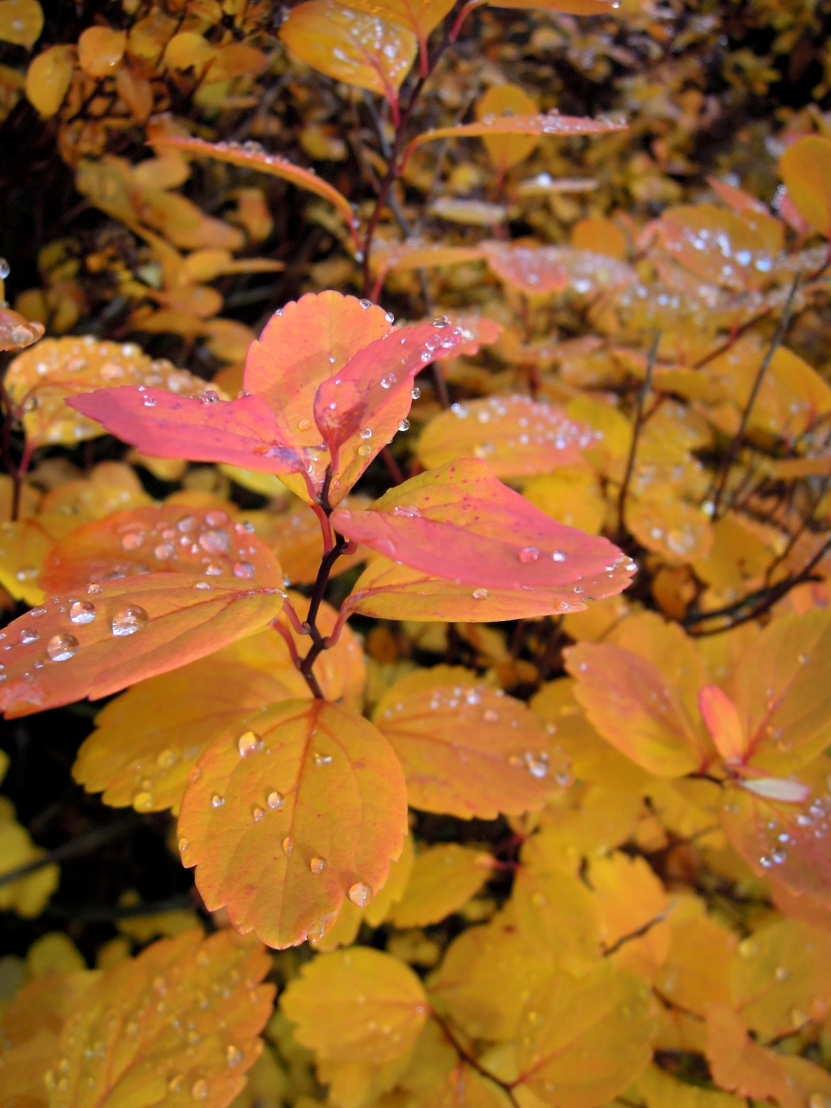 Dewy orange-red leaves