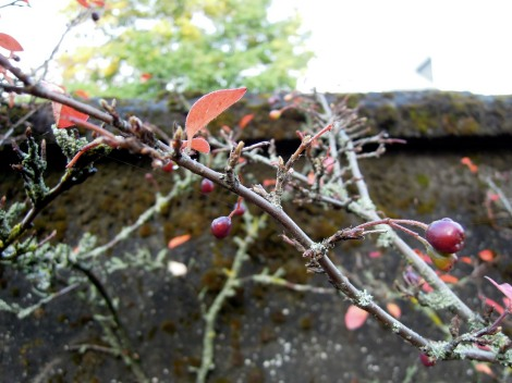 Lichen-covered branches, bare of leaves but bearing dark-plum berries