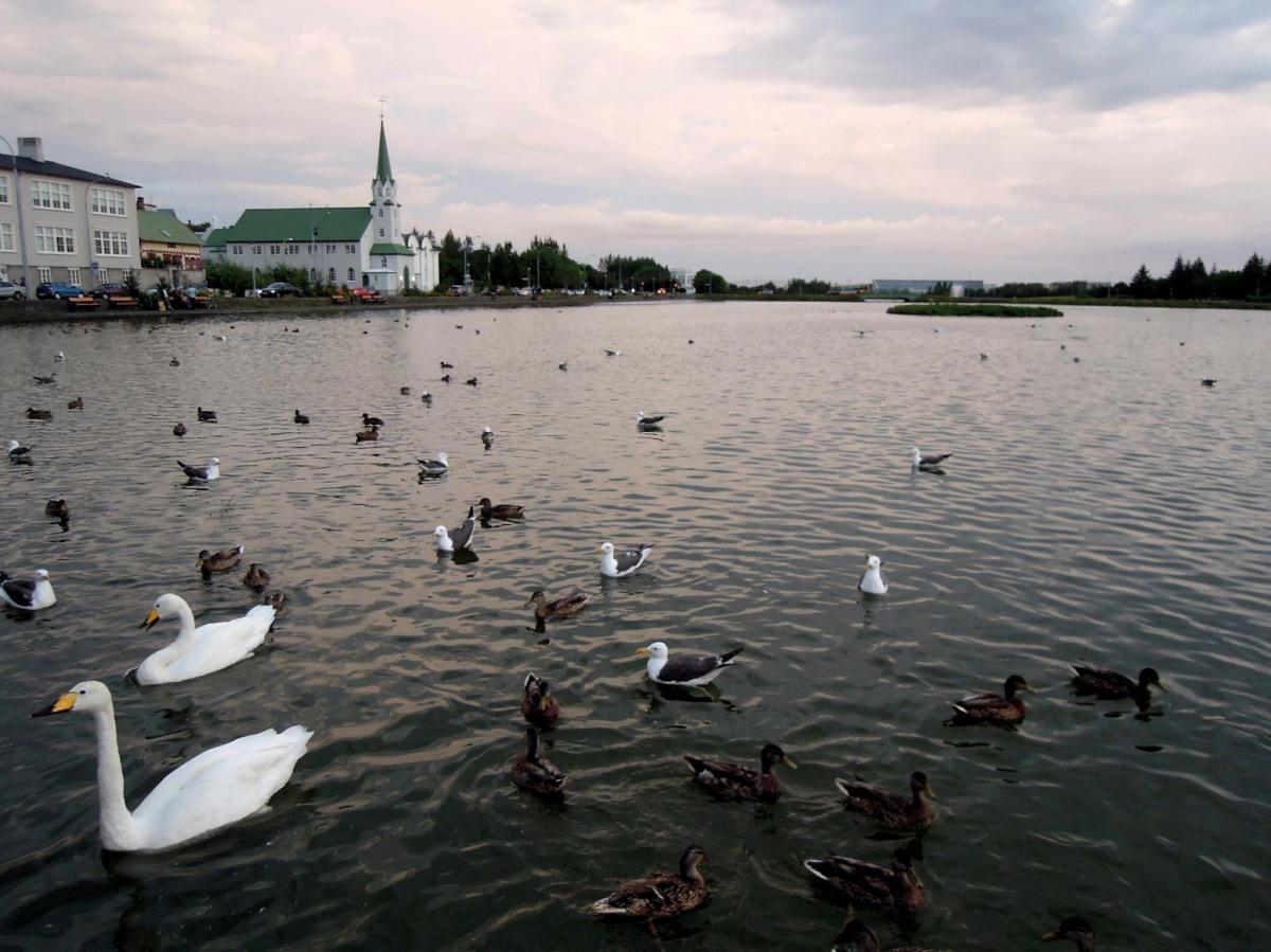 Swans!