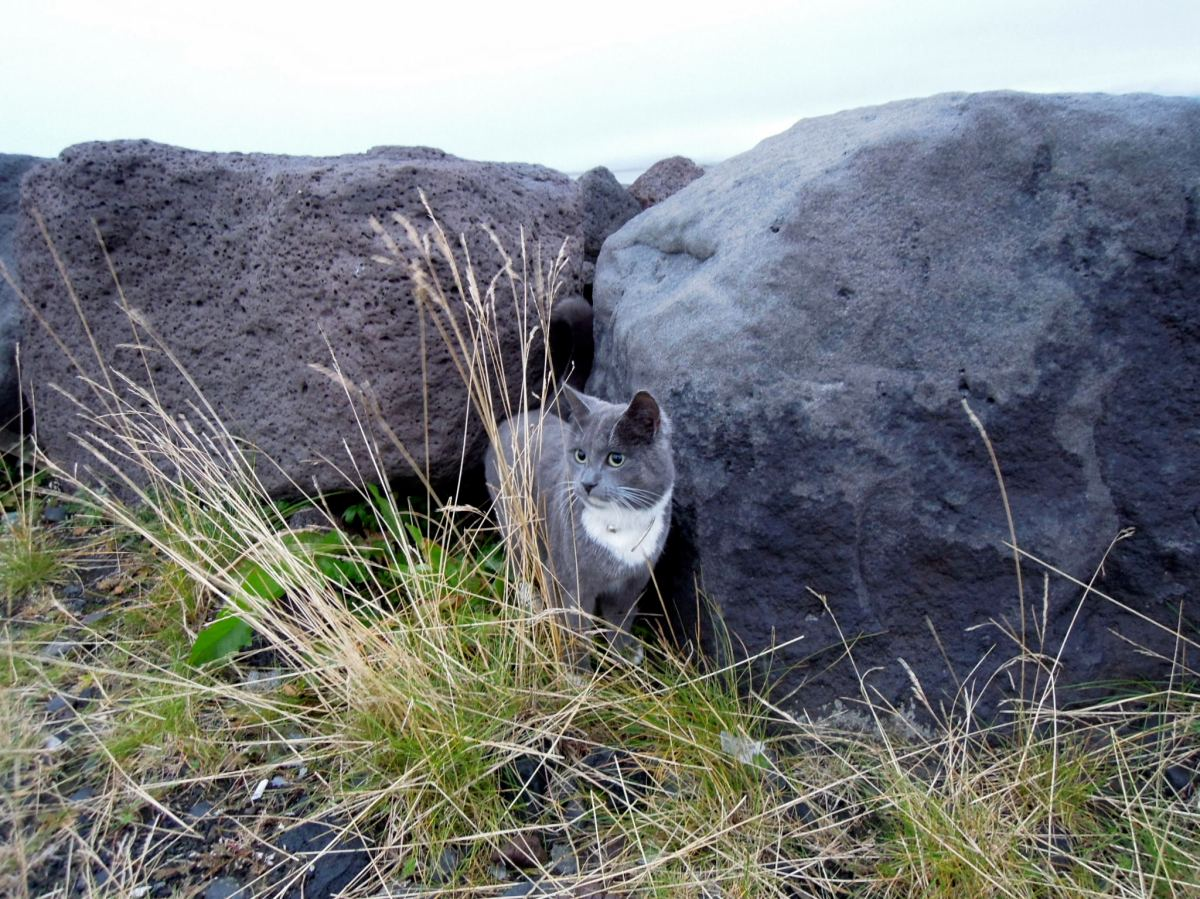 Grey and white cat by rocks