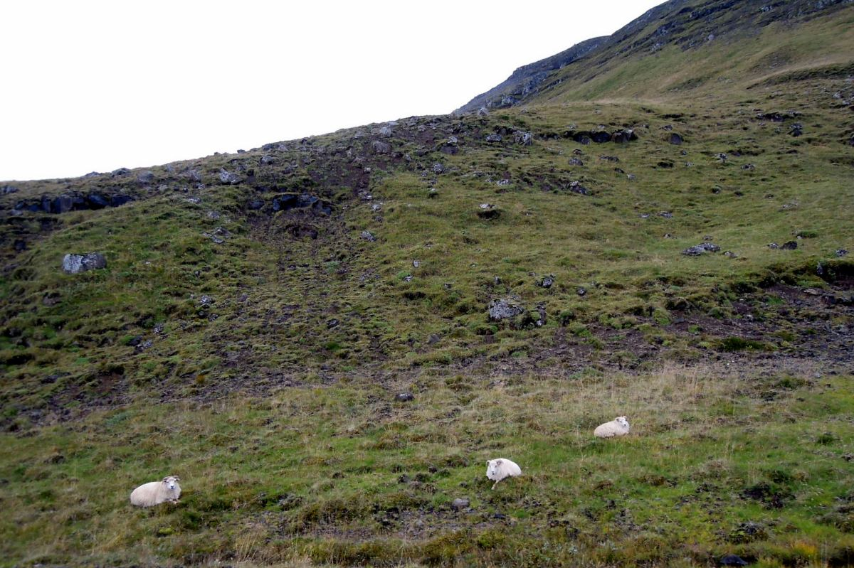 Three white Icelandic sheep