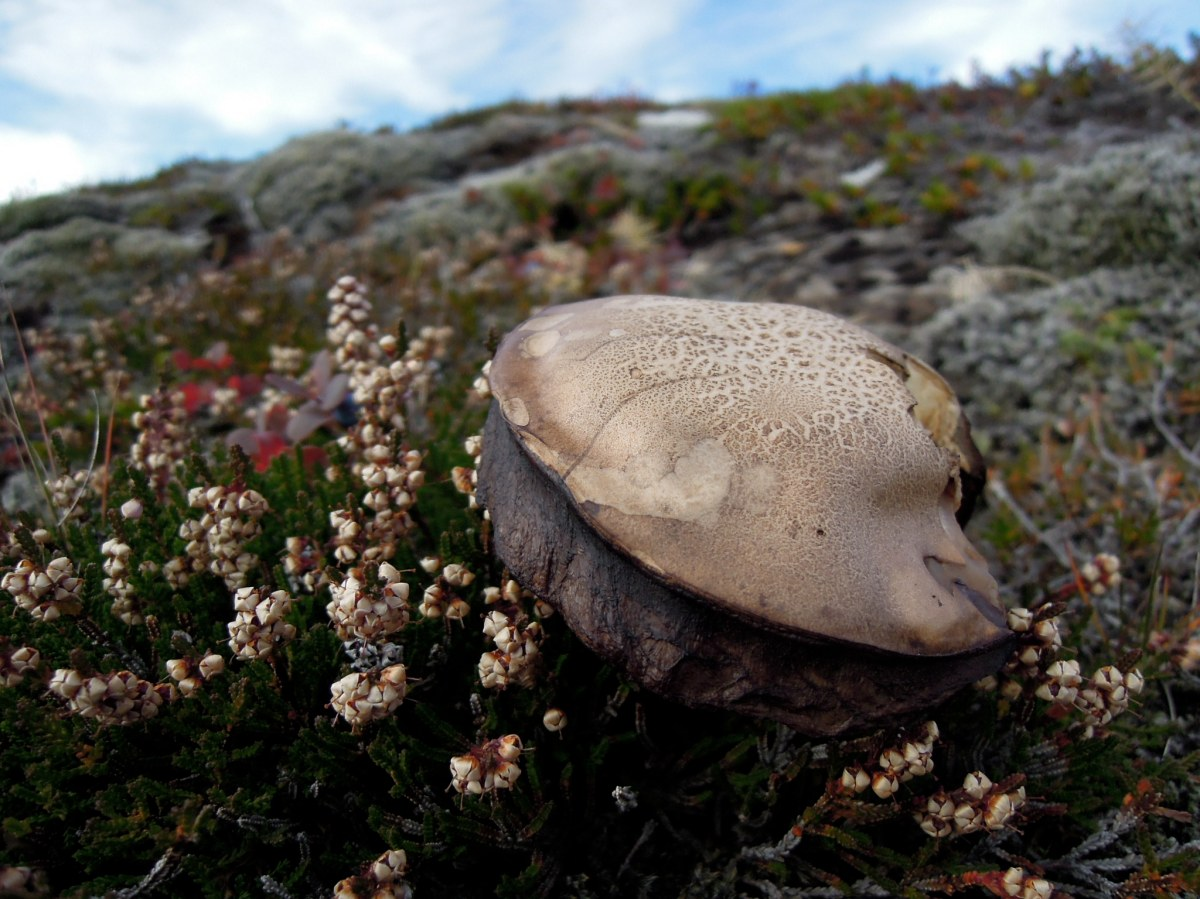 Gorgeous brown mushroom next to tiny pink mountain flowers