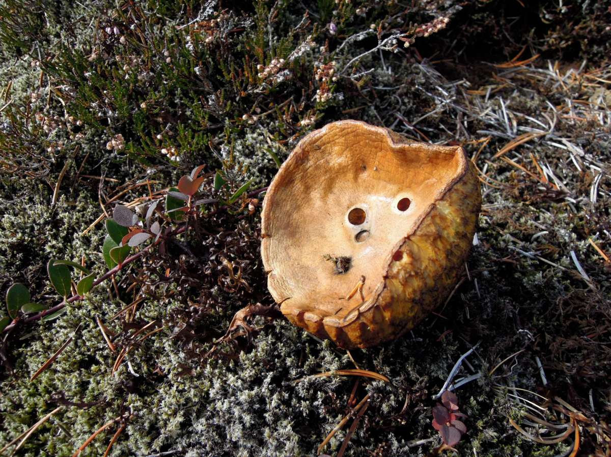 Cup-shaped golden-brown mushroom with holes in it
