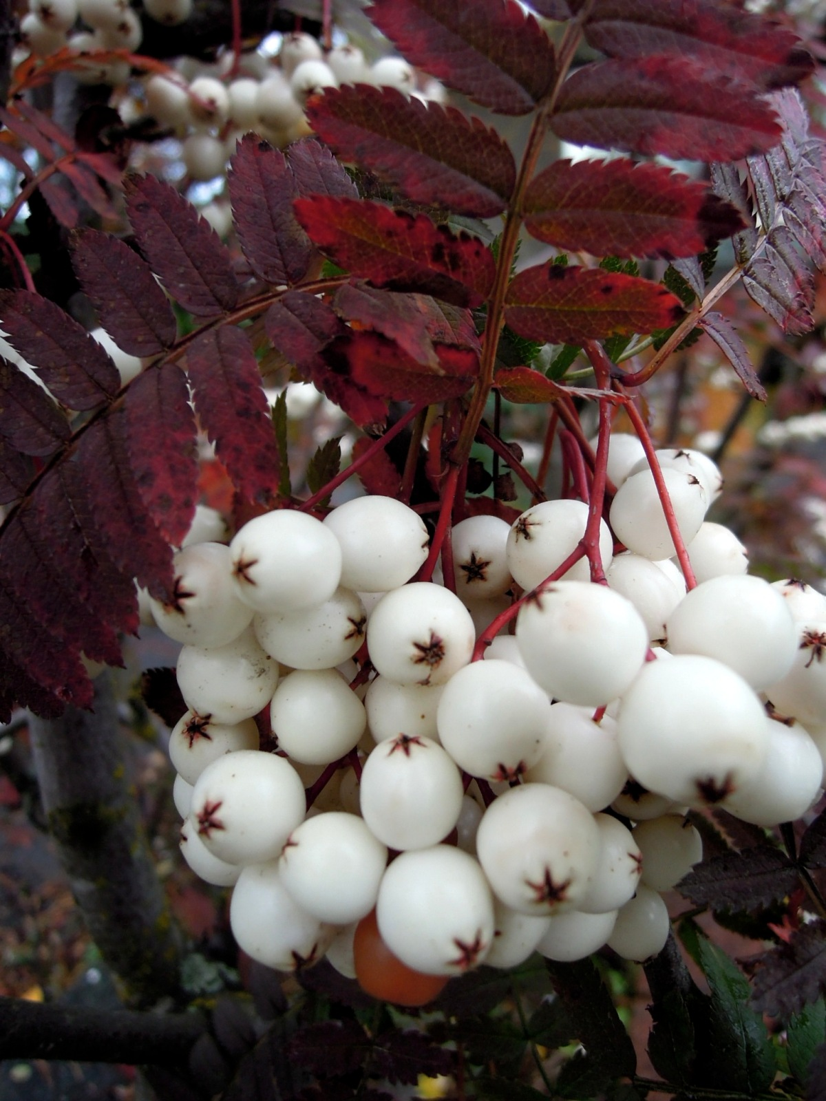 White berries with red foliage