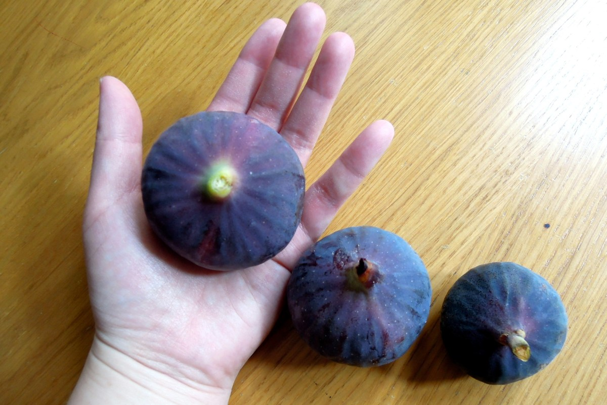 Big black figs