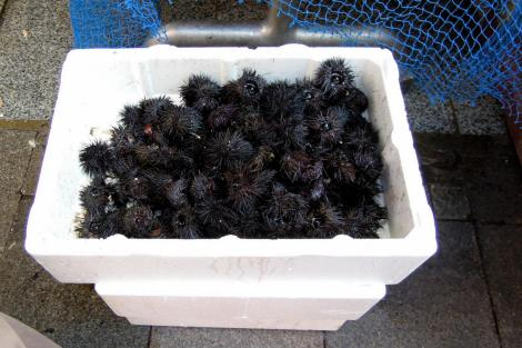 Sea urchins in a styrofoam cooler