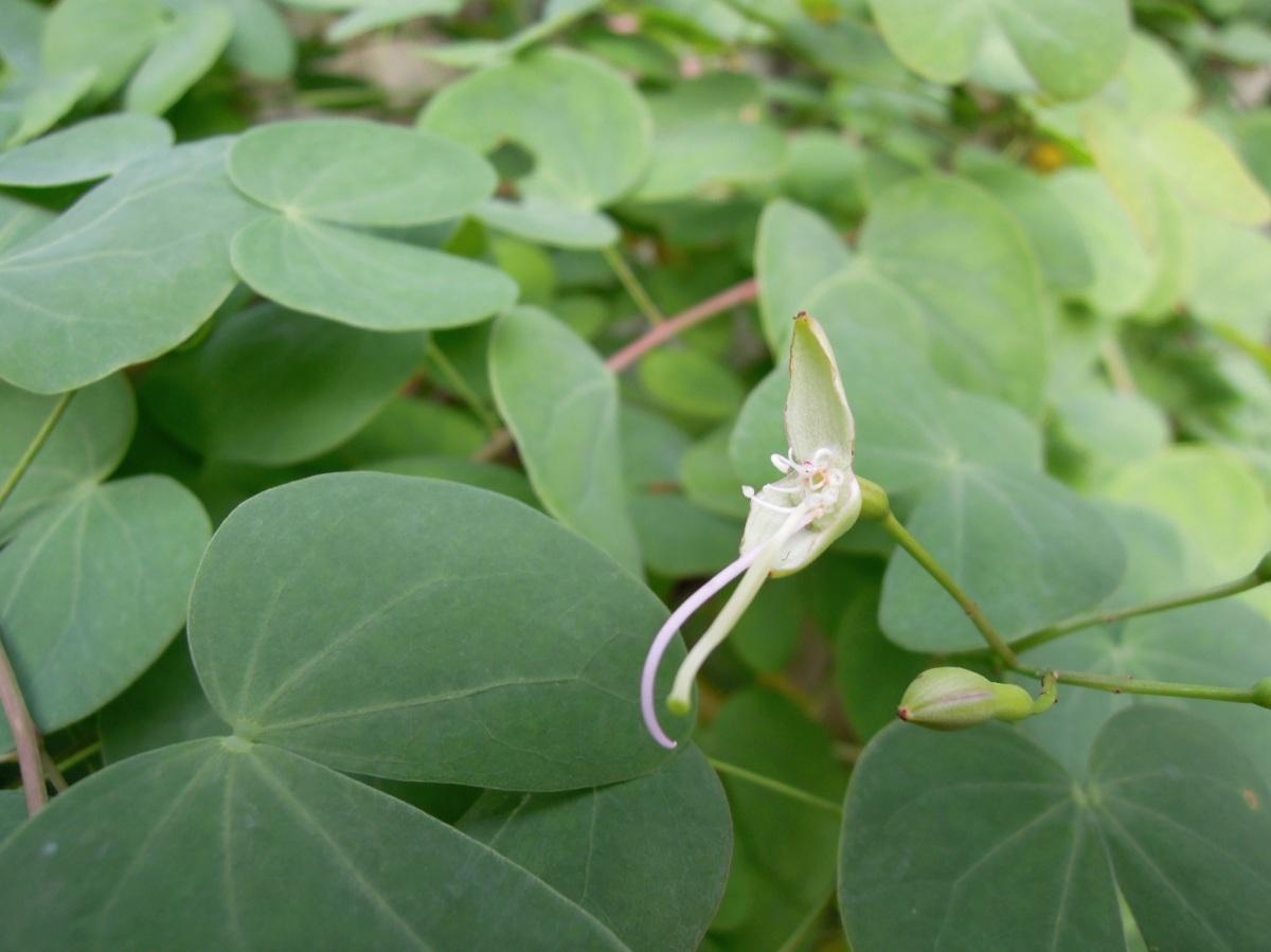 Tiny eucalyptus flower