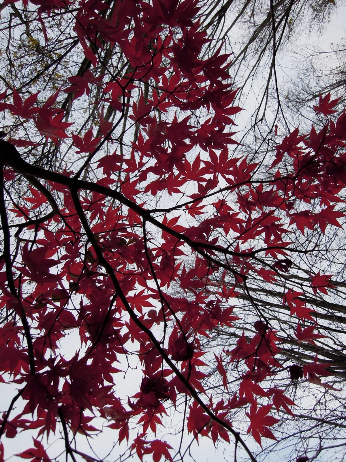 Looking through red leaves to the sky