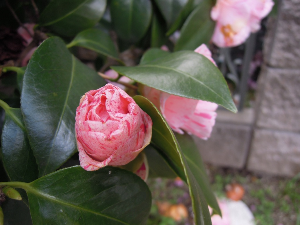 Spotted pink camellia